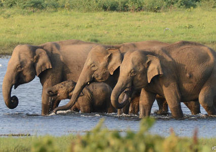 Elephants in Sri Lanka - Wild Safari in Minneriya National Park