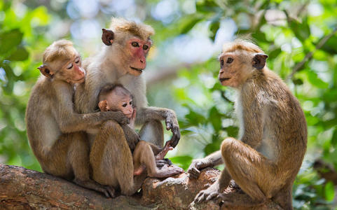 Nature of Monkeys in Sri Lanka