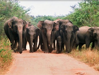 Elephant Gathering in Minneriya