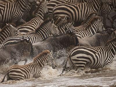 Mara Zebra Migration