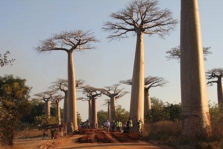 Avenue of Baobab