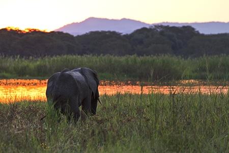 Elephant Mvuu Liwonde