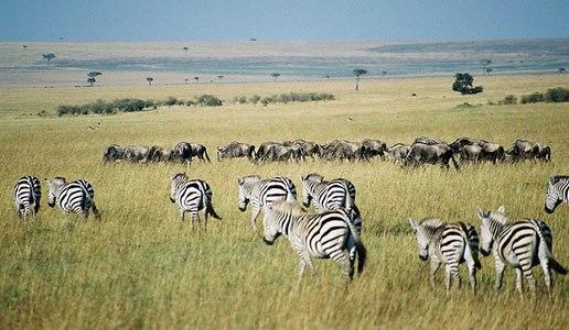 Gnus Zebra Masai Mara