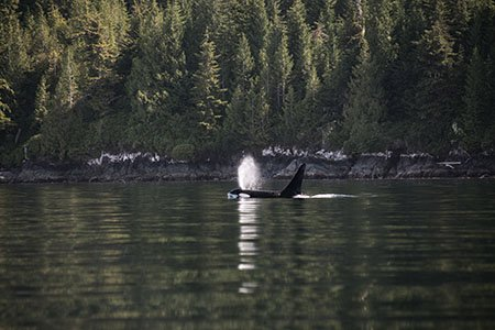 Orca (killer whale) in Johnstone Strait. Our paddling paradise in BC.
