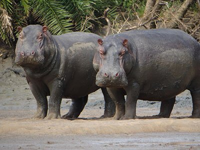 You'll see hippos and crocodiles eye to eye on a boat safari – not always for the faint-hearted.