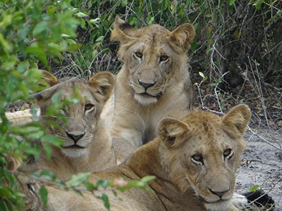 Would you want to get a bit closer to these sweet cubs? On a safari in Saadani National Park you can see wildlife real close, but sometimes you better keep your distance.