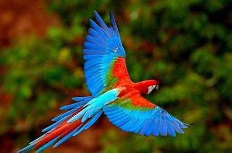 Macaw Tambopata Reserve