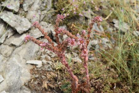 Botanical Tours Sempervivum marmoreum