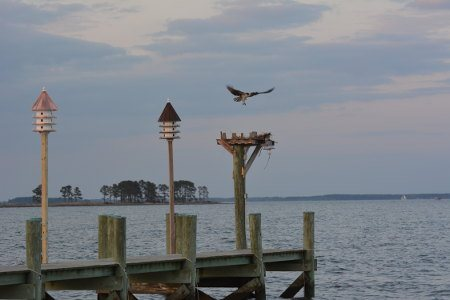 Nesting Osprey and Purple Martins on our dock.