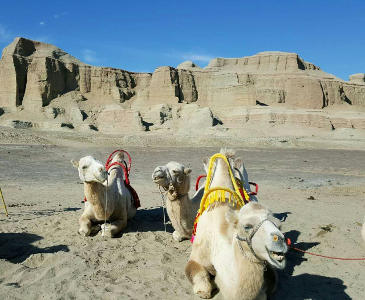 Camels in Ghost City Karamay