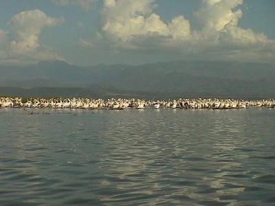 Pelicans on Chamo