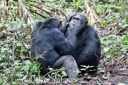 Chimpanzee Tracking in Kibale Forests