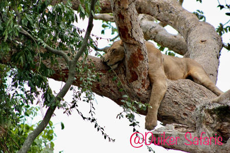 Tree Climbing Lions in The Ishasha Sector of Queen Elizabeth National Park