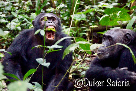 Chimpanzee Habituation in the Kibale Forests