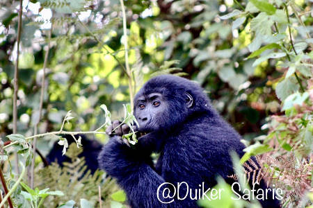 he Famous Known Moutain Gorillas for Trekking in the Bwindi Forests or Mgahinga National parks.