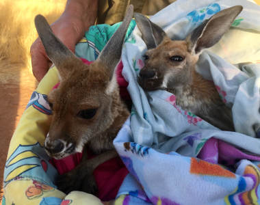 Baby kangaroos - Heart of Central Australia tour