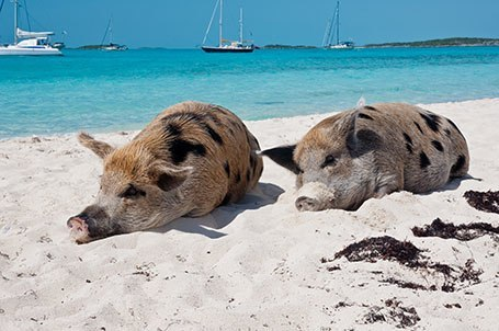 Bahamas Beach Pigs