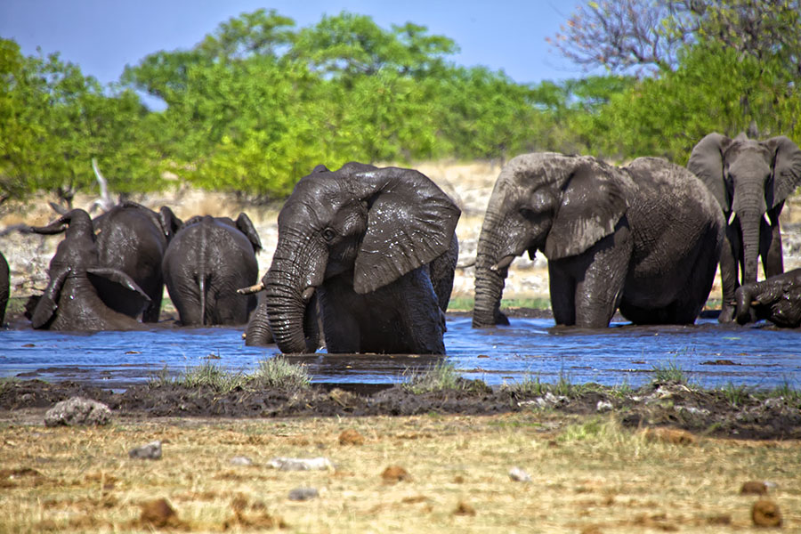 Elephants in water