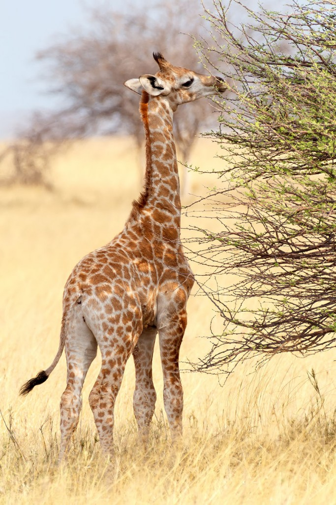 Baby giraffe is Etosha National Park