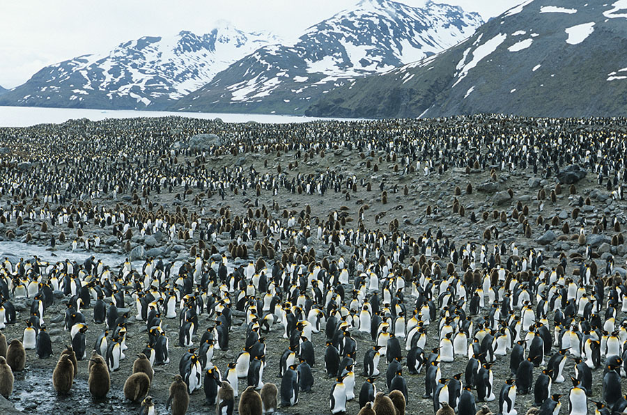 Lots of penguins