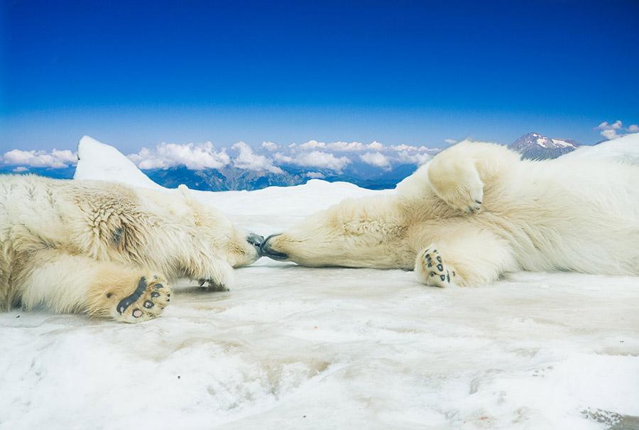 Polar Bears Kiss