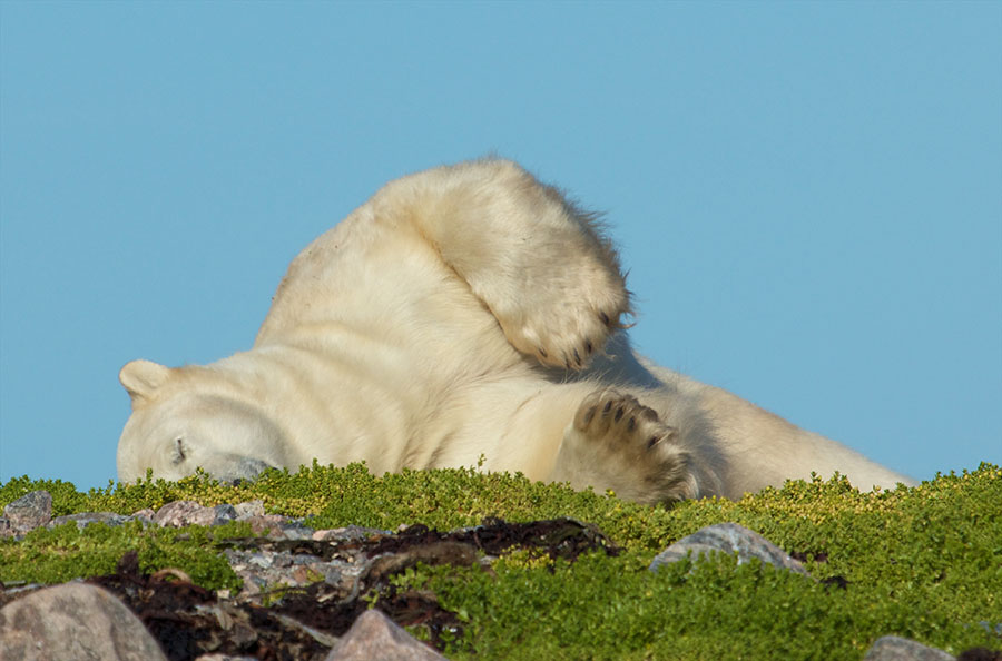 Polar Bear in Grass