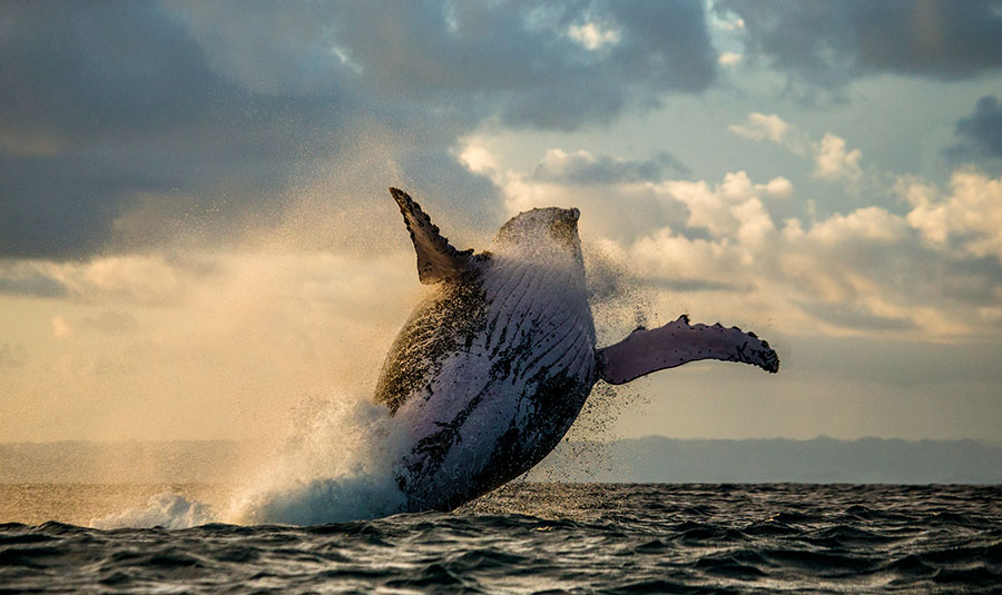 Whale jumps